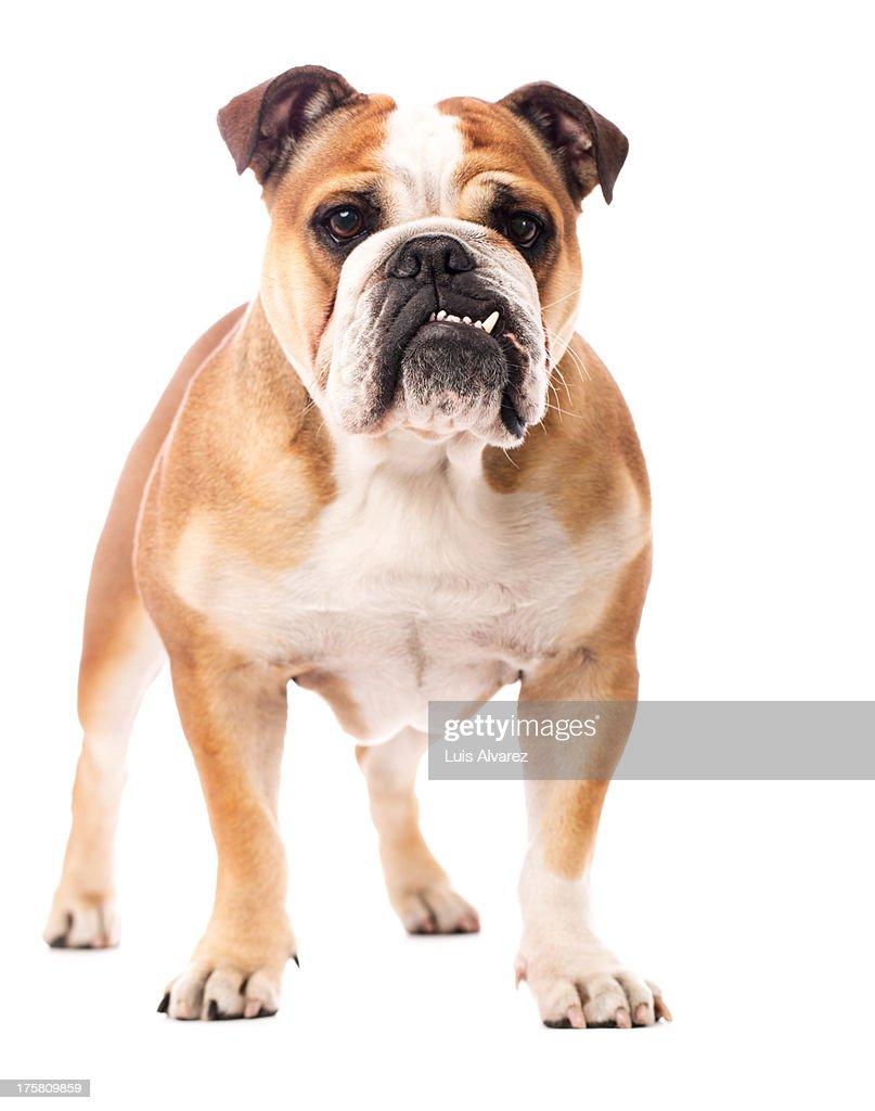 English Bulldog : Stock Photo