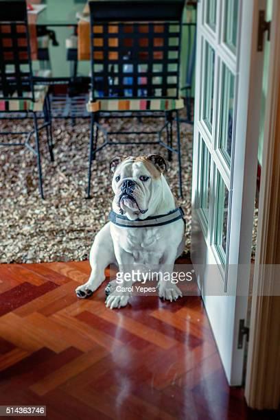 english bulldog Puppy at home
