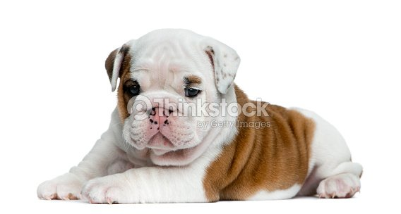 English Bulldog Puppy In Front Of White Background Stock