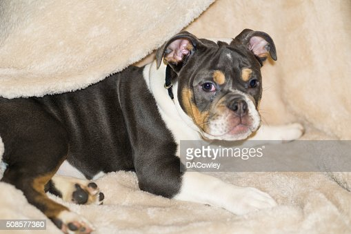 English Bulldog Puppy Laying Down : Stock Photo