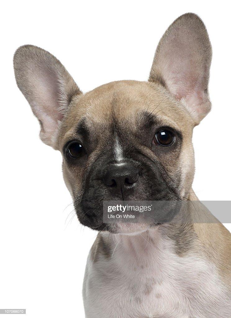 English Bulldog puppy (3 months old) : Stock Photo
