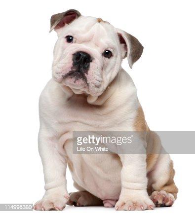 English bulldog puppy (2 months old)
