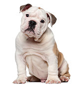 English bulldog puppy (2 months old)