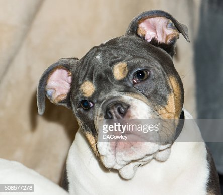 English Bulldog Puppy Portrait : Stock Photo