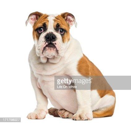 English Bulldog puppy sitting, facing