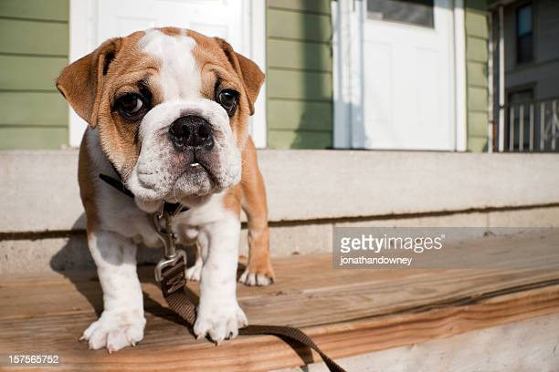 English bulldog puppy trying on its new leash