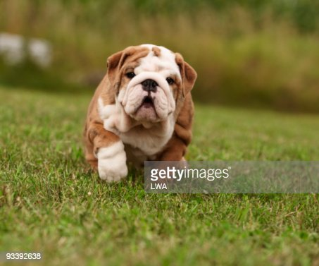 English Bulldog Puppy Walking In Grass