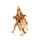 adorable english bulldog puppy dog walking while wearing a party hat on white background