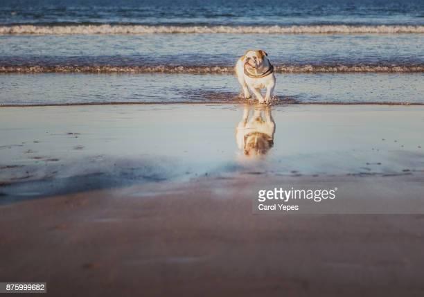 english bulldog running at beach