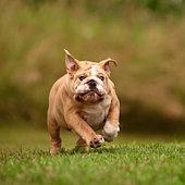 English Bulldog Running Through Field