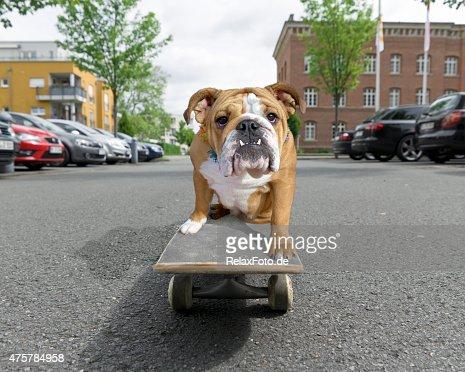 English bulldog sitting on skateboard in street