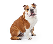 A young nine month old English Bulldog sitting against a white background and looking at the camera