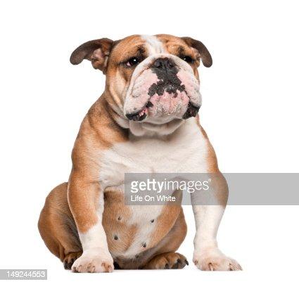 English Bulldog (5 years old) sitting