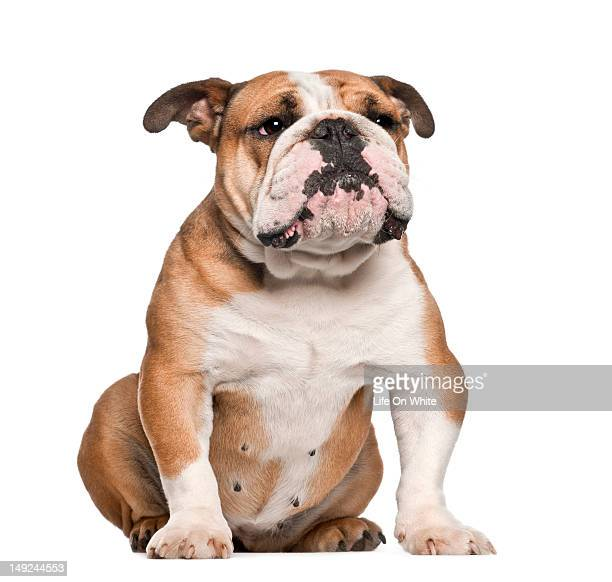 English Bulldog (5 years old) sitting