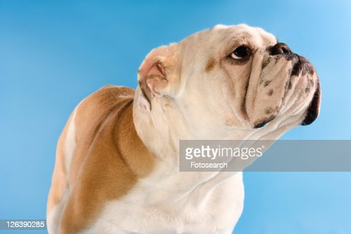 English Bulldog standing on blue background looking off to the side.