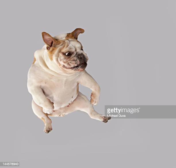 English Bulldog Studio Shot Kicking in Anger