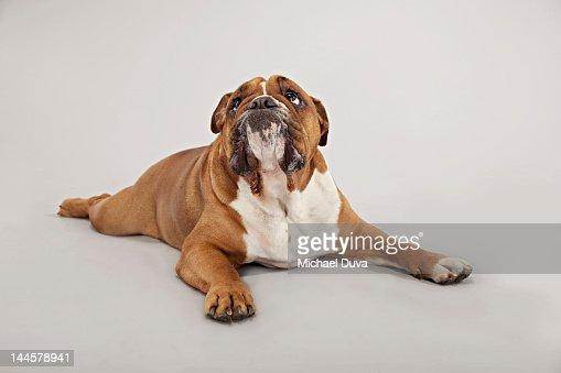 English Bulldog Studio Shot