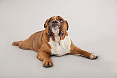 English Bulldog Studio Shot