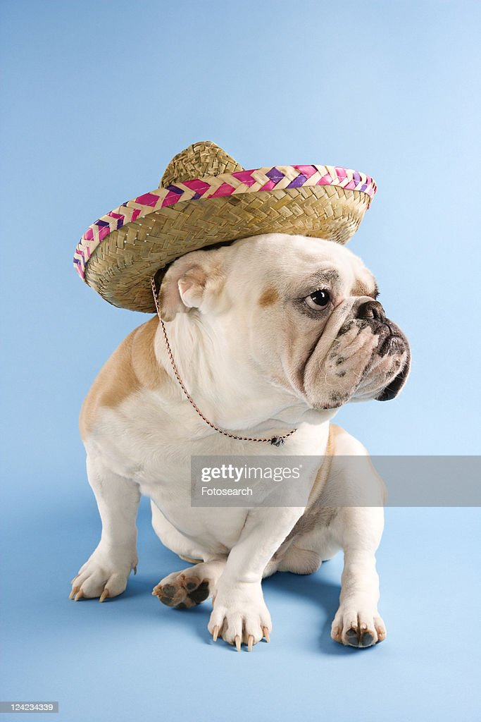 English Bulldog wearing sombrero on blue background looking off to the side. : Stock Photo