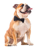 English bulldog with bow tie