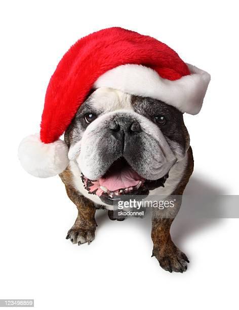 Bouledogue anglais avec chapeau de Santa Clause
