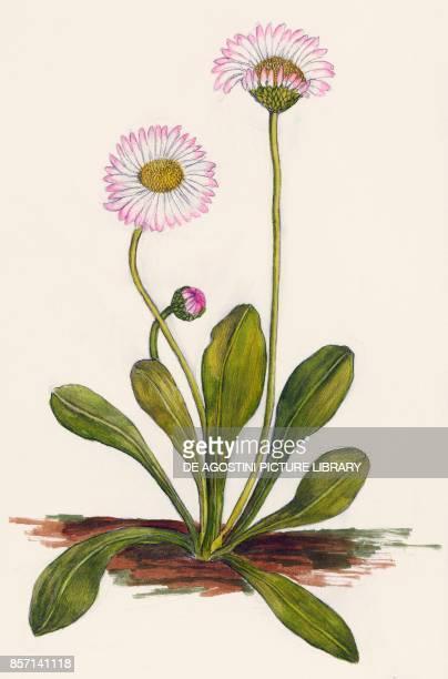 English daisy or common daisy drawing