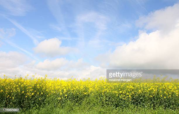 english field in summer yellow oilseed and clouds