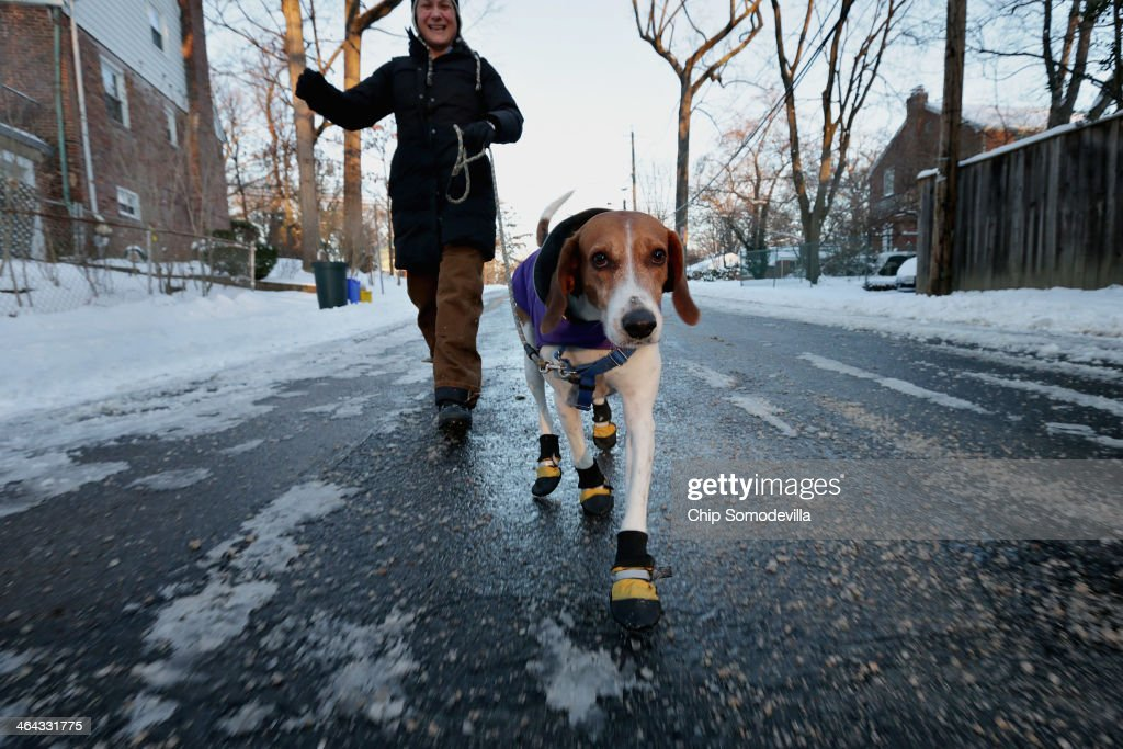 English foxhound 'Braxton' wears boots to protect his paws from ice melting chemicals during his morning walk as the temperature hovers in the single-digits Fahrenheit January 22, 2014 in Washington, DC. After four inches of snow fell on some places in the capital area, the federal government delayed the start of the work day by two hours as most schools remained closed.