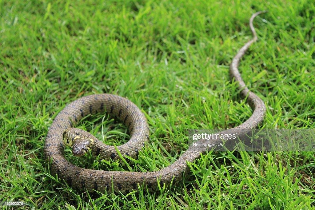 English grass snake in garden