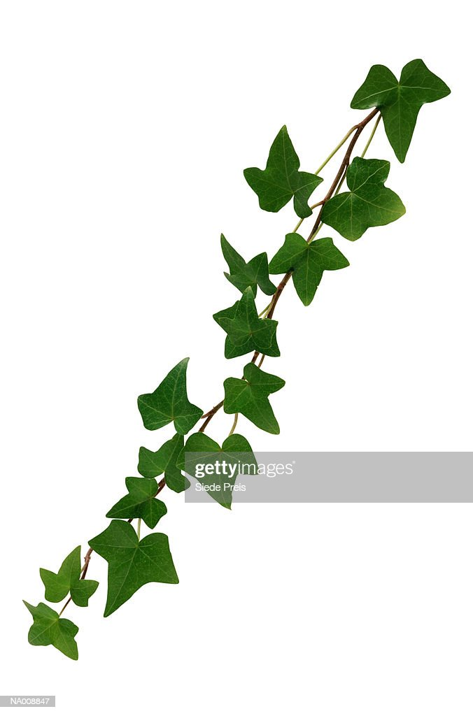 English Ivy : Stock Photo