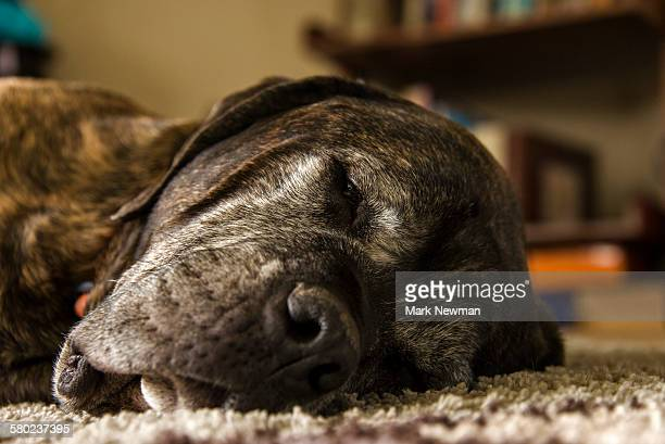 English Mastiff sleeping