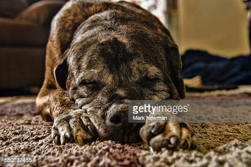 English Mastiff sleeping