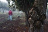 English Oak and Holm Oak trees host trees to truffles grow at the Truffles Australis Pty Ltd plantation near Deloraine Tasmania Australia on Monday...