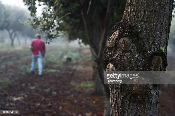 English Oak and Holm Oak trees host trees to truffles grow at the Truffles Australis Pty Ltd plantation near Deloraine Tasmania Australia on Monday...
