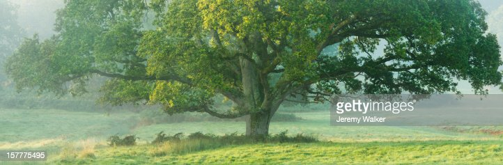 English oak tree in a misty meadow, at dawn : Stock Photo