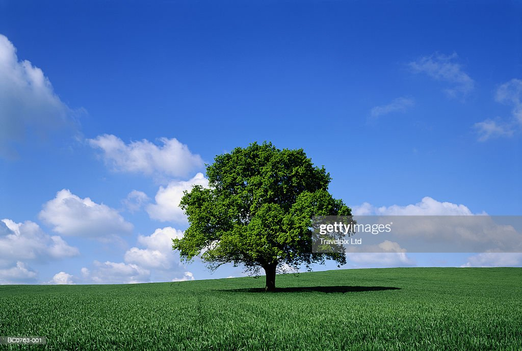 English oak tree (Quercus robur) in field, Lincolnshire, England : Stock Photo