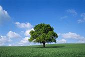 English oak tree (Quercus robur) in field, Lincolnshire, England