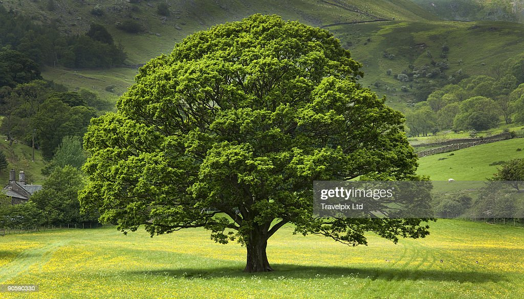 English Oak Tree in field of Buttercups : Stock Photo