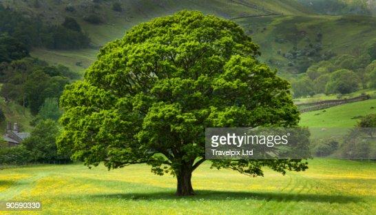 English Oak Tree in field of Buttercups : Stock Photo