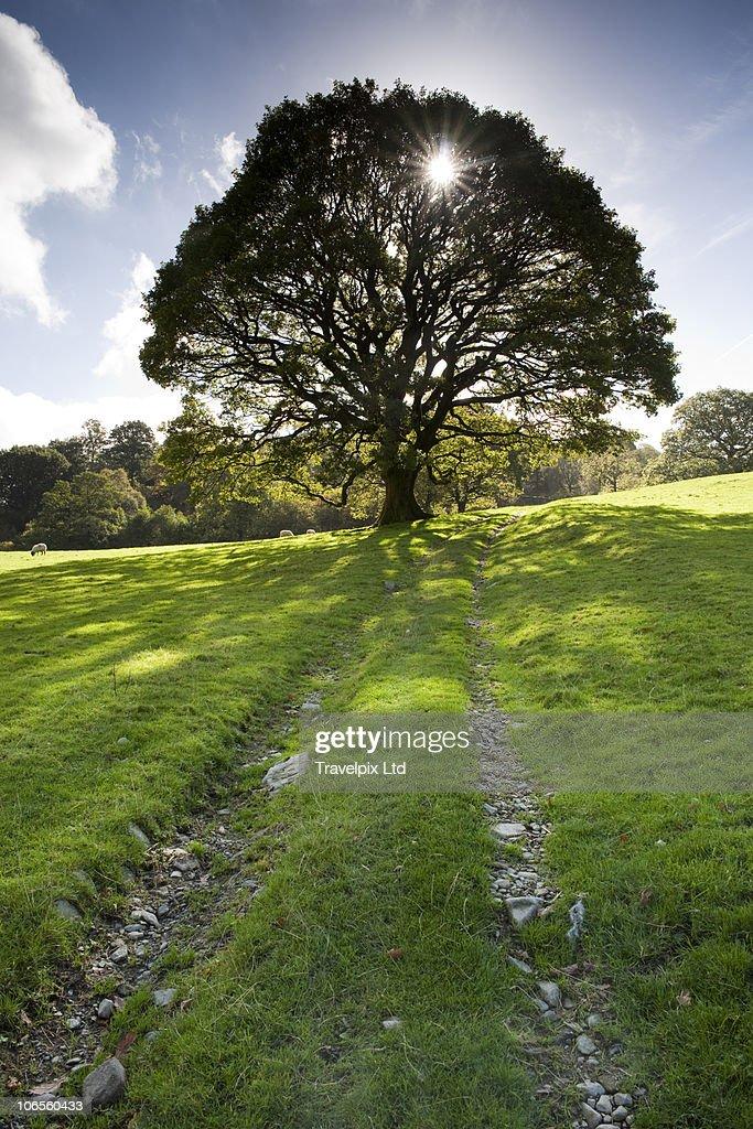 English Oak Tree, Quercus robur : Stock Photo