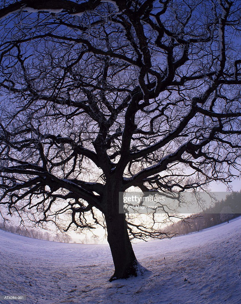 English oak tree (Quercus robur) winter, Skane, Sweden (wide angle) : Stock Photo