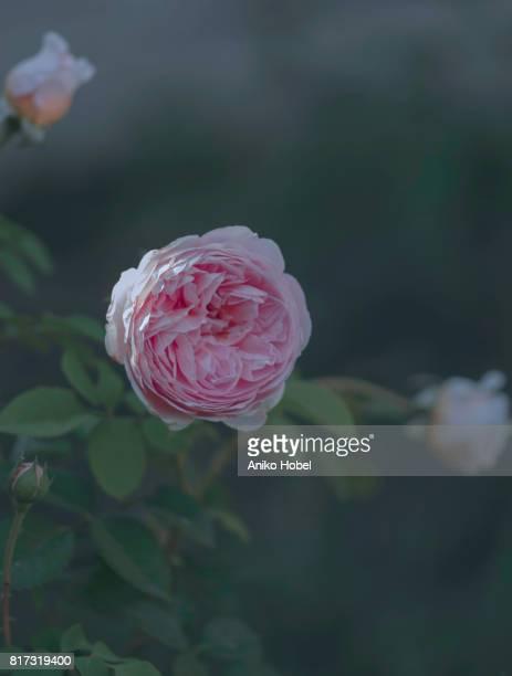 English pink rose