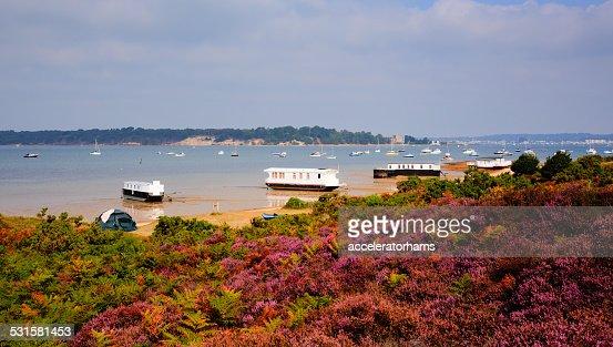 English Purple heather Poole Harbour Dorset England UK : Stock Photo