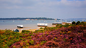 Purple heather with view to Brownsea Island Poole Harbour Dorset England UK viewed from the coast next to the Sandbanks ferry