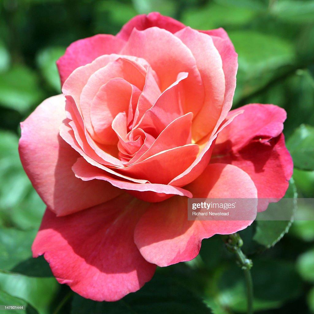 English rose : Stock Photo