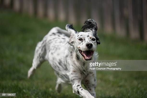 English Setter at play