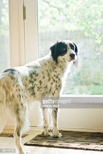English Setter dog at door waiting to go outside