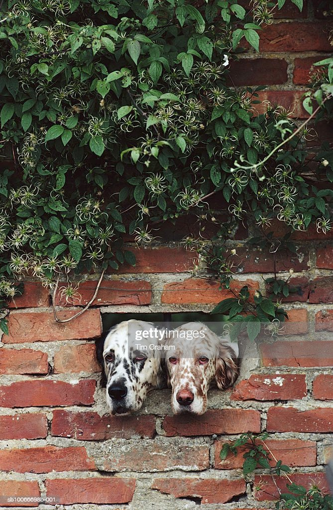 English Setter Dogs, Suffolk, UK : Stock Photo