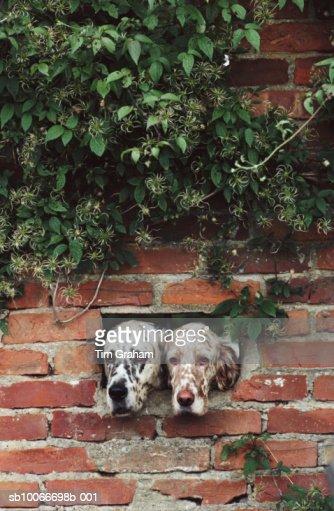 English Setter Dogs, Suffolk, UK : Stock Photo
