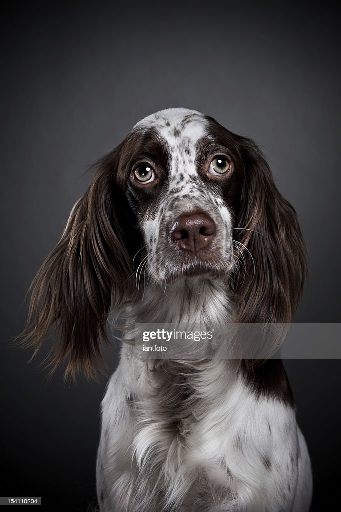 English Setter. : Stock Photo